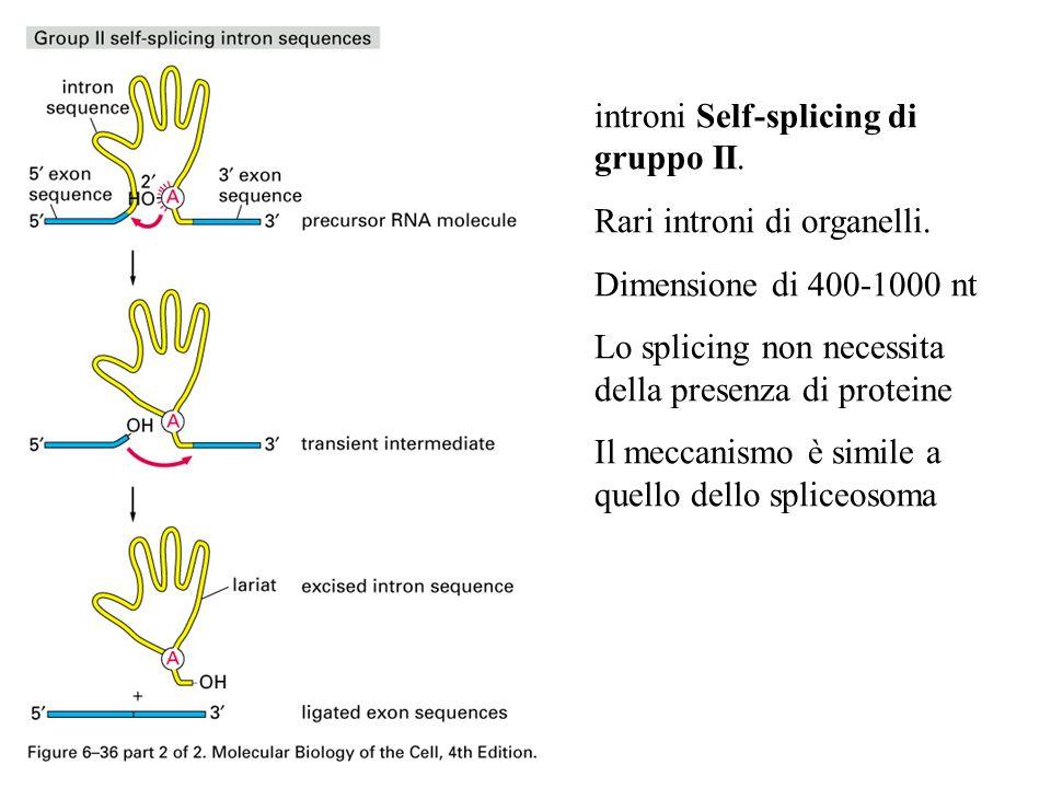 introni Self-splicing di gruppo II. Rari introni di organelli. Dimensione di 400-1000 nt Lo splicing non necessita della presenza di proteine Il mecca