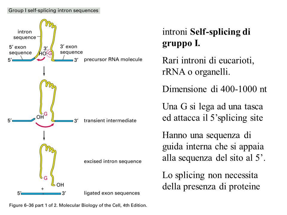 introni Self-splicing di gruppo I. Rari introni di eucarioti, rRNA o organelli. Dimensione di 400-1000 nt Una G si lega ad una tasca ed attacca il 5sp