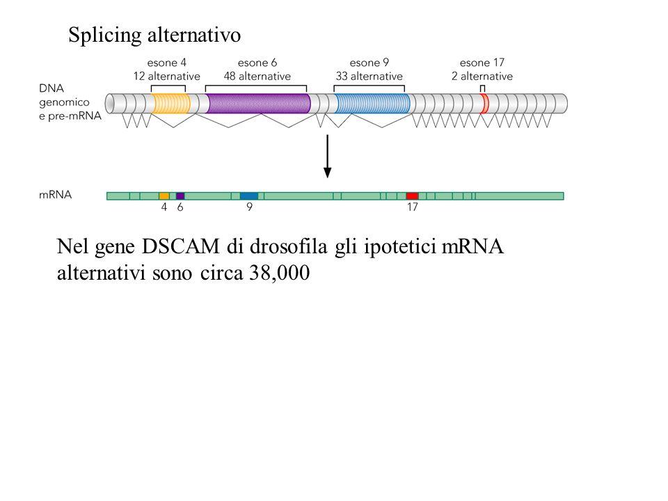Splicing alternativo Nel gene DSCAM di drosofila gli ipotetici mRNA alternativi sono circa 38,000