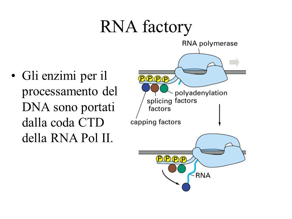 RNA splicing Passaggi dello spliceosoma Complesso E (early) A: (Branch site) B1: (spliceosoma completo) B2: U1 è rilasciato e si ha un riarrangiamento C1: U4 è rilasciato ed inizia la catalisi C2: sito 3 tagliato e gli esoni ligati animazione A B E C
