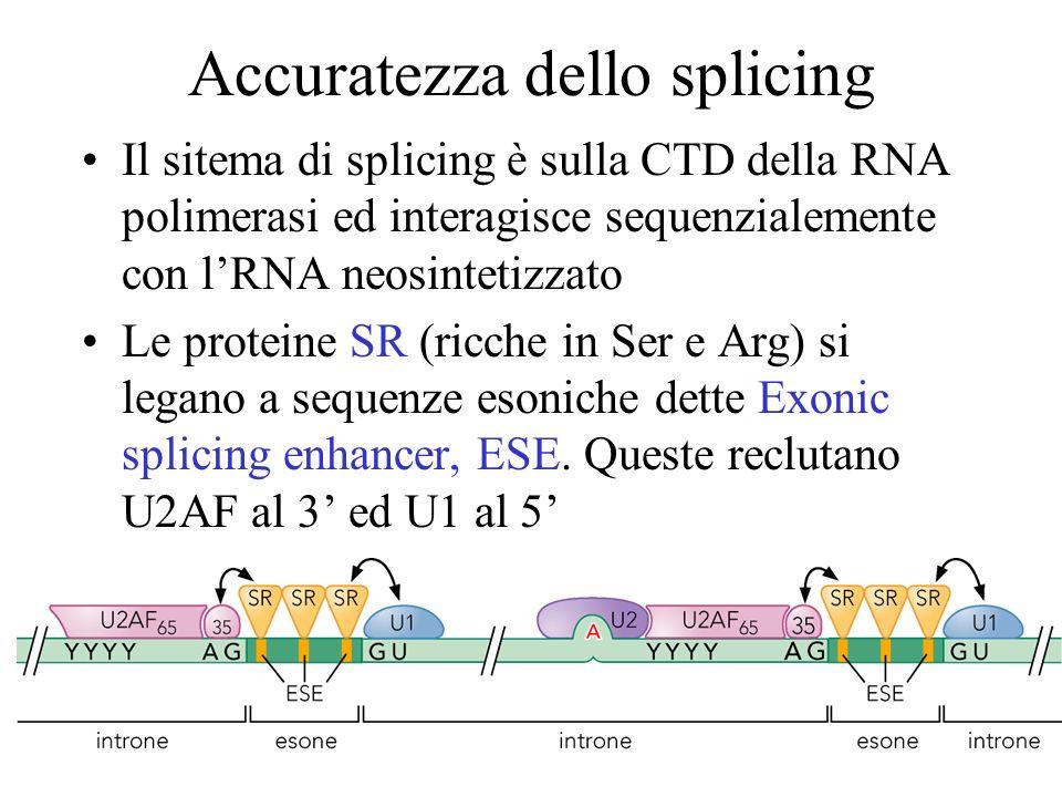 Accuratezza dello splicing Il sitema di splicing è sulla CTD della RNA polimerasi ed interagisce sequenzialemente con lRNA neosintetizzato Le proteine