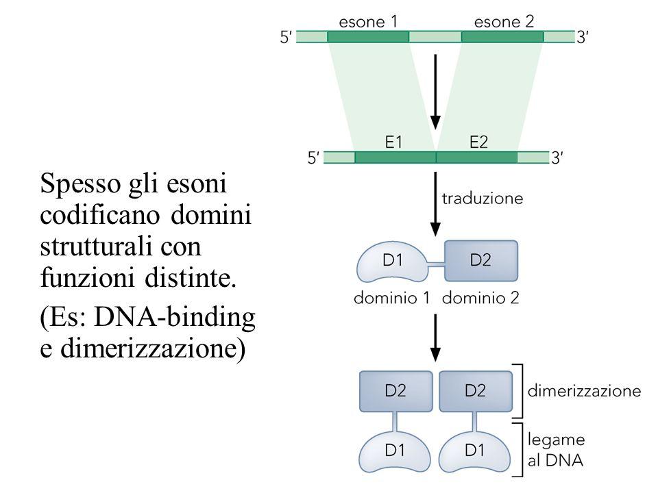Spesso gli esoni codificano domini strutturali con funzioni distinte. (Es: DNA-binding e dimerizzazione)