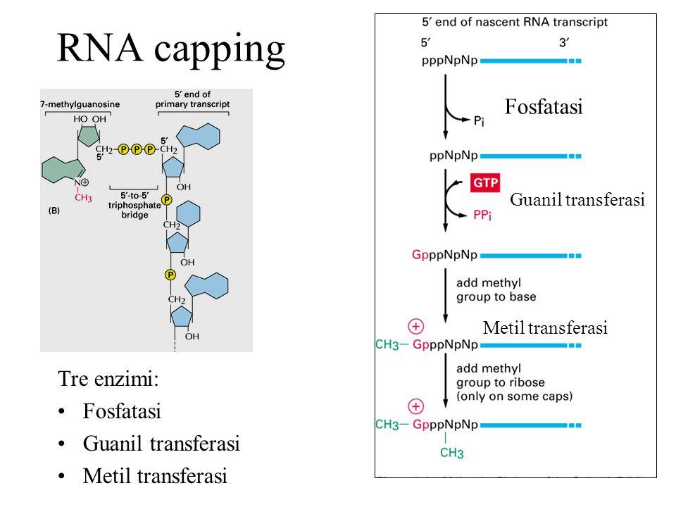 3 terminale di mRNA eucariotici Sequenze consenso AAUAAA è riconosciuta da cleavage and polyadenylation specific factor (CPSF) La regione GU-rich da Cleavage stimulation factor F (CstF)