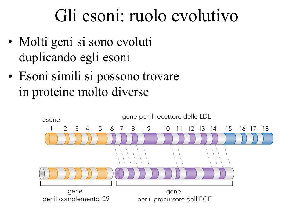 Gli esoni: ruolo evolutivo Molti geni si sono evoluti duplicando egli esoni Esoni simili si possono trovare in proteine molto diverse