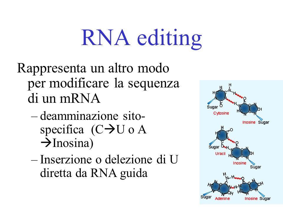 RNA editing Rappresenta un altro modo per modificare la sequenza di un mRNA –deamminazione sito- specifica (C U o A Inosina) –Inserzione o delezione d