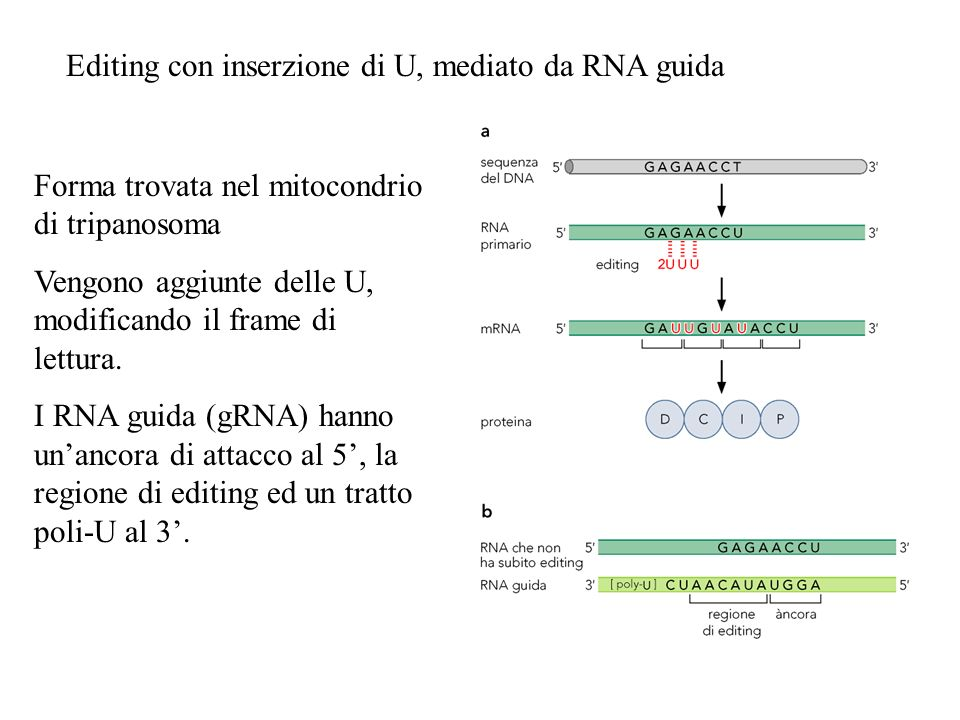 Editing con inserzione di U, mediato da RNA guida Forma trovata nel mitocondrio di tripanosoma Vengono aggiunte delle U, modificando il frame di lettu
