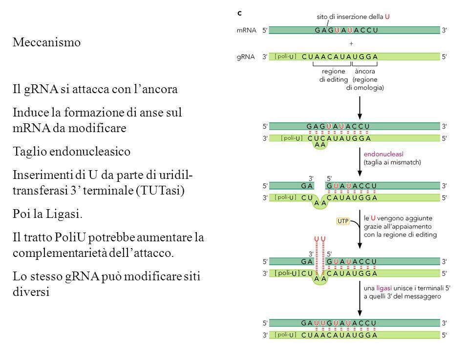 Meccanismo Il gRNA si attacca con lancora Induce la formazione di anse sul mRNA da modificare Taglio endonucleasico Inserimenti di U da parte di uridi