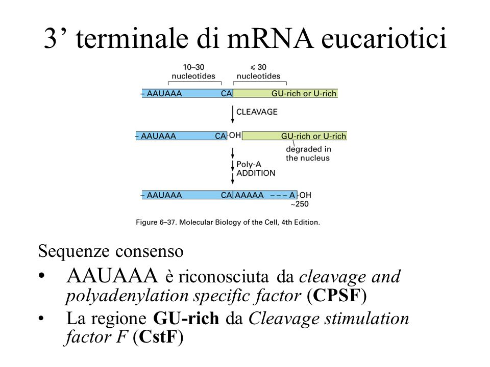 Produzione del 3 terminale di mRNA eucariotici La sequenza AUAAA è riconosciuta da CPSF, la GU-rich da CstF, poi reclutano altri fattori che tagliano il DNA e viene reclutata poli-A- polimerasi (PAP)