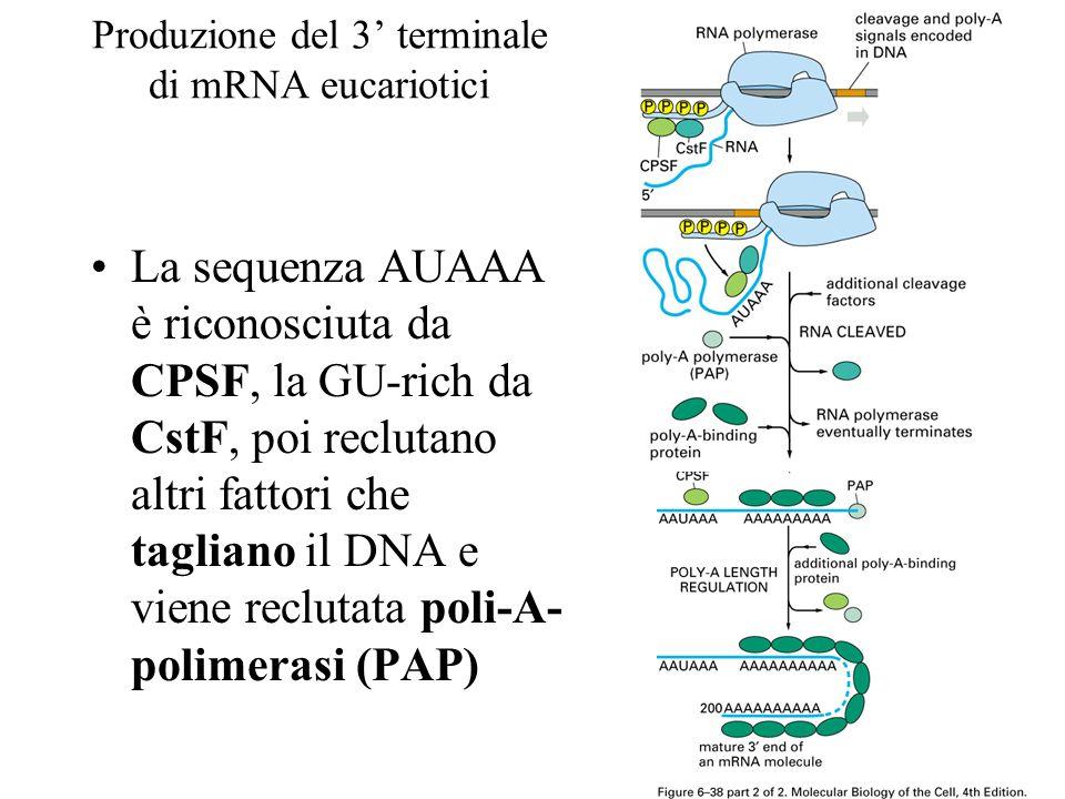 Produzione del 3 terminale di mRNA eucariotici La sequenza AUAAA è riconosciuta da CPSF, la GU-rich da CstF, poi reclutano altri fattori che tagliano