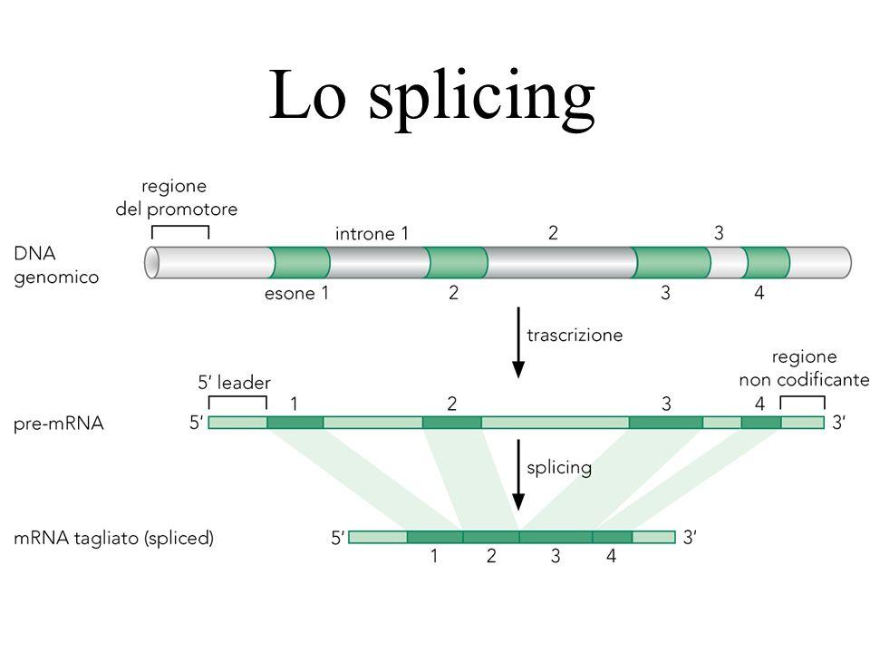 Spliceosoma minore Negli eucarioti superiori esiste una forma più rara di spliceosoma che ha siti di riconoscimento diversi: Spliceosoma AT-AC (normale GT-AG) Il meccanismo di base è analogo, ma le proteine sono in parte distinte
