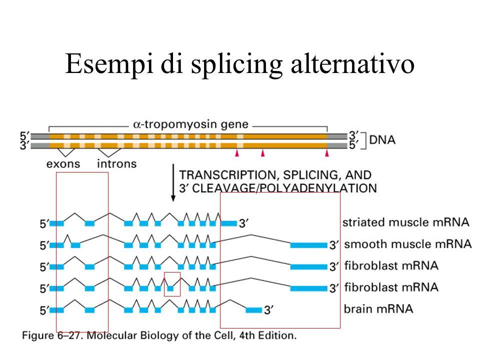 complesso E: early presplicing contiene U1 snRNP legato al 5splice-site U2AF legata a Py tract ed al 3 splice-site Questa recluta BBPche si lega al branch site.