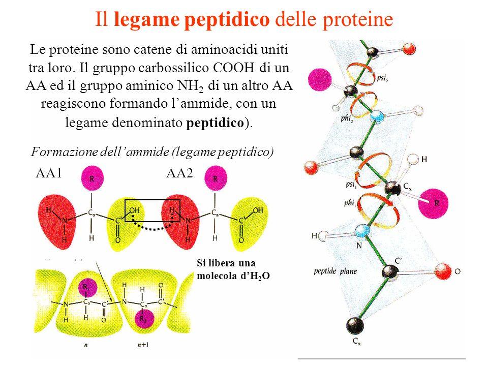 Il legame peptidico delle proteine Le proteine sono catene di aminoacidi uniti tra loro. Il gruppo carbossilico COOH di un AA ed il gruppo aminico NH