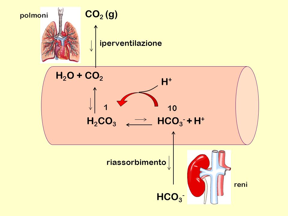 H 2 CO 3 HCO 3 - + H + H 2 O + CO 2 H+H+ 10 1 CO 2 (g) HCO 3 - polmoni reni iperventilazione riassorbimento