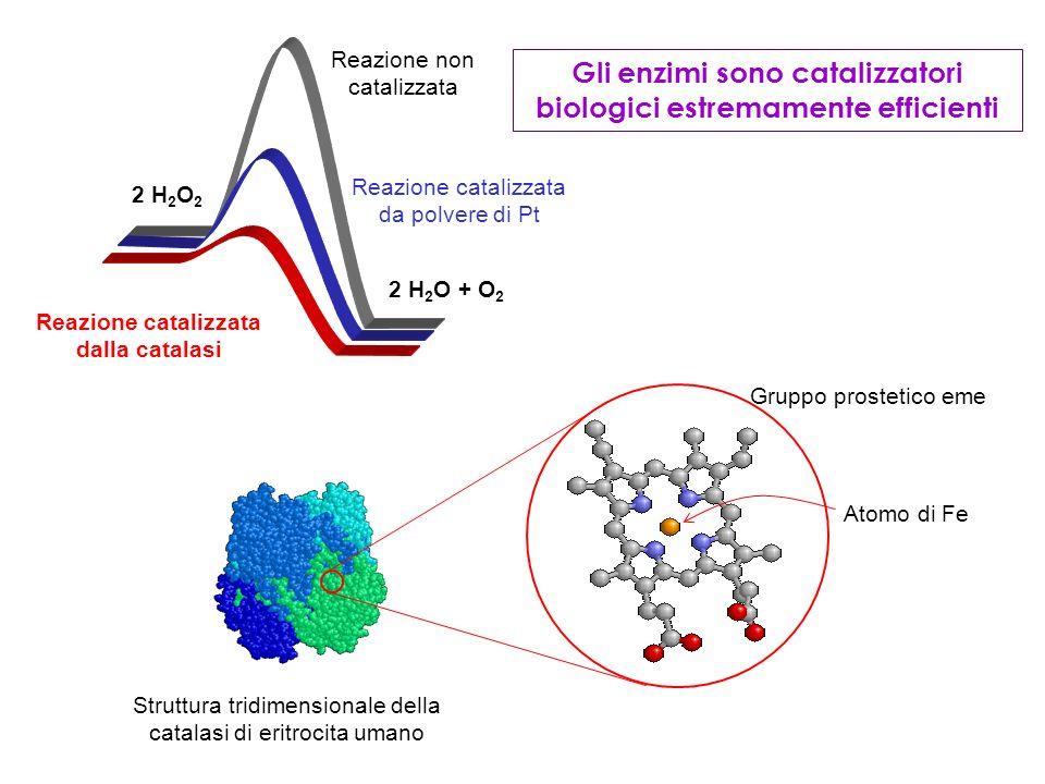 Gli enzimi sono catalizzatori biologici estremamente efficienti 2 H 2 O 2 2 H 2 O + O 2 Reazione non catalizzata Reazione catalizzata da polvere di Pt Reazione catalizzata dalla catalasi Gruppo prostetico eme Atomo di Fe Struttura tridimensionale della catalasi di eritrocita umano
