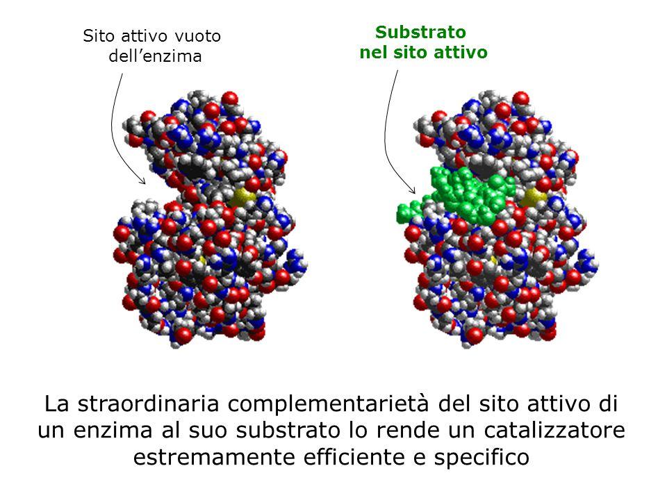 Sito attivo vuoto dellenzima Substrato nel sito attivo La straordinaria complementarietà del sito attivo di un enzima al suo substrato lo rende un catalizzatore estremamente efficiente e specifico