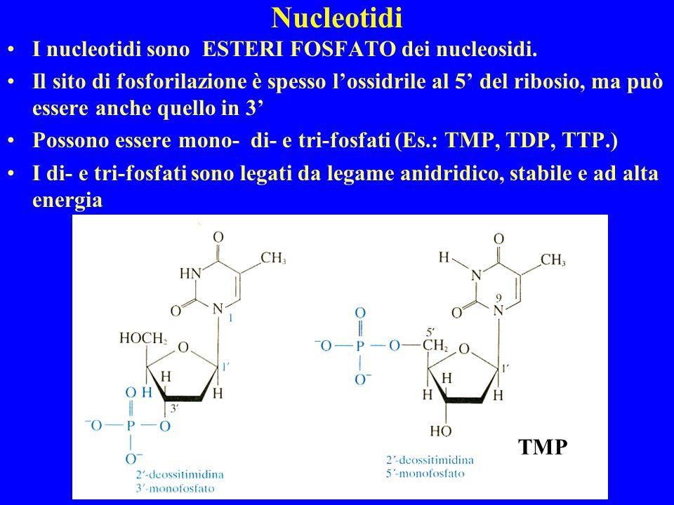 Nucleotidi I nucleotidi sono ESTERI FOSFATO dei nucleosidi. Il sito di fosforilazione è spesso lossidrile al 5 del ribosio, ma può essere anche quello