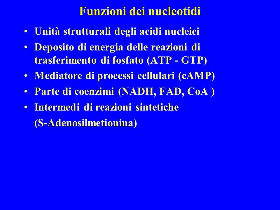 Funzioni dei nucleotidi Unità strutturali degli acidi nucleici Deposito di energia delle reazioni di trasferimento di fosfato (ATP - GTP) Mediatore di processi cellulari (cAMP) Parte di coenzimi (NADH, FAD, CoA ) Intermedi di reazioni sintetiche (S-Adenosilmetionina)