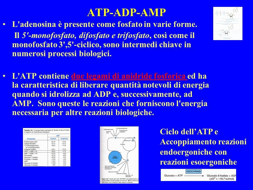 ATP-ADP-AMP L'adenosina è presente come fosfato in varie forme. Il 5'-monofosfato, difosfato e trifosfato, così come il monofosfato 3',5'-ciclico, son