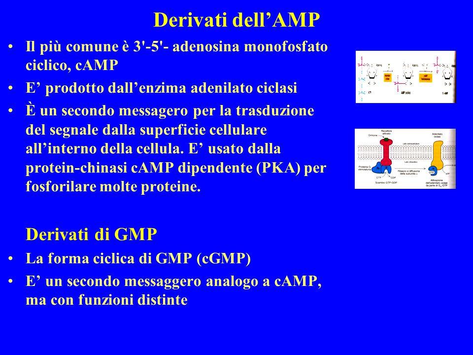 Derivati dellAMP Il più comune è 3 -5 - adenosina monofosfato ciclico, cAMP E prodotto dallenzima adenilato ciclasi È un secondo messagero per la trasduzione del segnale dalla superficie cellulare allinterno della cellula.