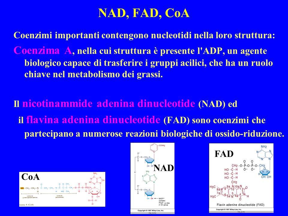 NAD, FAD, CoA Coenzimi importanti contengono nucleotidi nella loro struttura: Coenzima A, nella cui struttura è presente l ADP, un agente biologico capace di trasferire i gruppi acilici, che ha un ruolo chiave nel metabolismo dei grassi.
