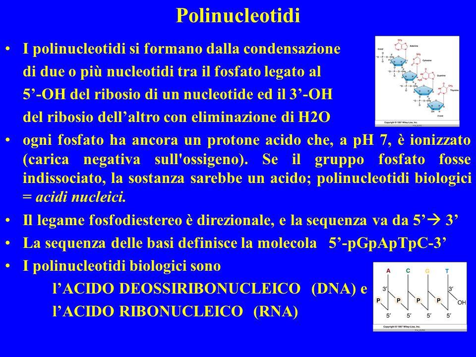 I polinucleotidi si formano dalla condensazione di due o più nucleotidi tra il fosfato legato al 5-OH del ribosio di un nucleotide ed il 3-OH del ribosio dellaltro con eliminazione di H2O ogni fosfato ha ancora un protone acido che, a pH 7, è ionizzato (carica negativa sull ossigeno).