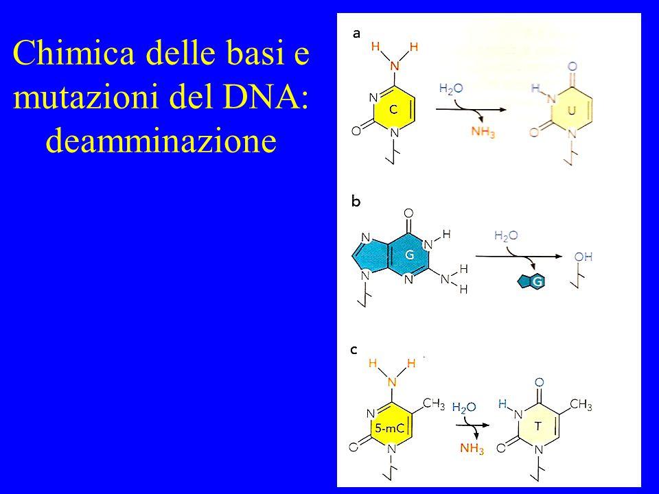 Chimica delle basi e mutazioni del DNA: deamminazione