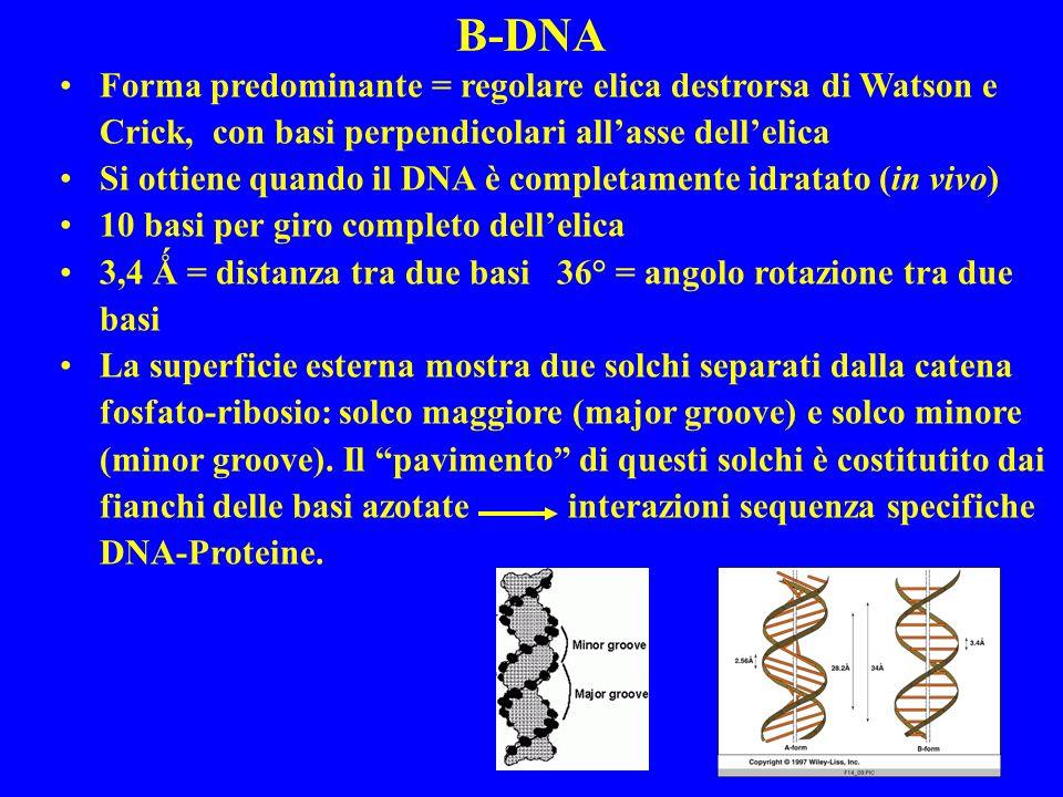 B-DNA Forma predominante = regolare elica destrorsa di Watson e Crick, con basi perpendicolari allasse dellelica Si ottiene quando il DNA è completamente idratato (in vivo) 10 basi per giro completo dellelica 3,4 Ǻ = distanza tra due basi 36° = angolo rotazione tra due basi La superficie esterna mostra due solchi separati dalla catena fosfato-ribosio: solco maggiore (major groove) e solco minore (minor groove).