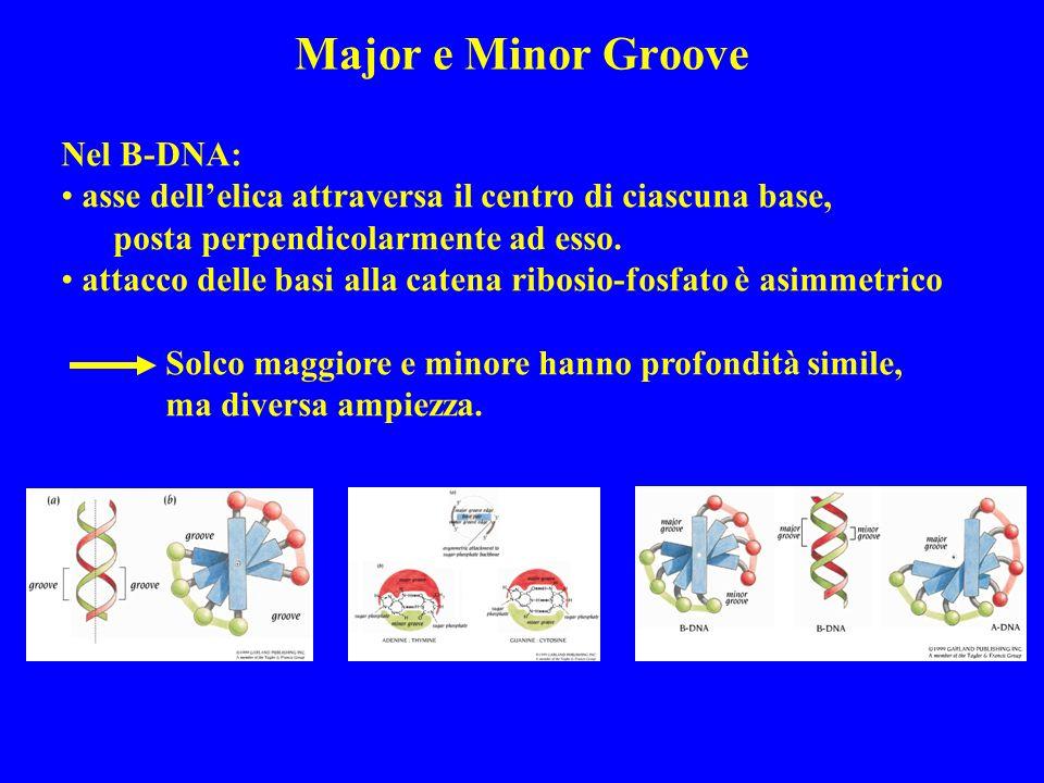 Major e Minor Groove Nel B-DNA: asse dellelica attraversa il centro di ciascuna base, posta perpendicolarmente ad esso.