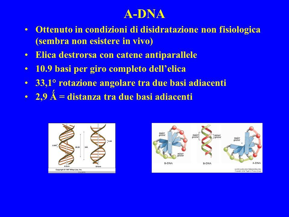 A-DNA Ottenuto in condizioni di disidratazione non fisiologica (sembra non esistere in vivo) Elica destrorsa con catene antiparallele 10.9 basi per giro completo dellelica 33,1° rotazione angolare tra due basi adiacenti 2,9 Ǻ = distanza tra due basi adiacenti