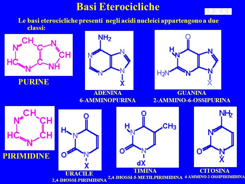 Basi Eterocicliche Le basi eterocicliche presenti negli acidi nucleici appartengono a due classi: PURINE PIRIMIDINE ADENINA 6-AMMINOPURINA GUANINA 2-AMMINO-6-OSSIPURINA URACILE 2,4-DIOSSI-PIRIMIDINA TIMINA 2,4-DIOSSI-5-METILPIRIMIDINA CITOSINA 4-AMMINO-2-OSSIPIRIMIDINA