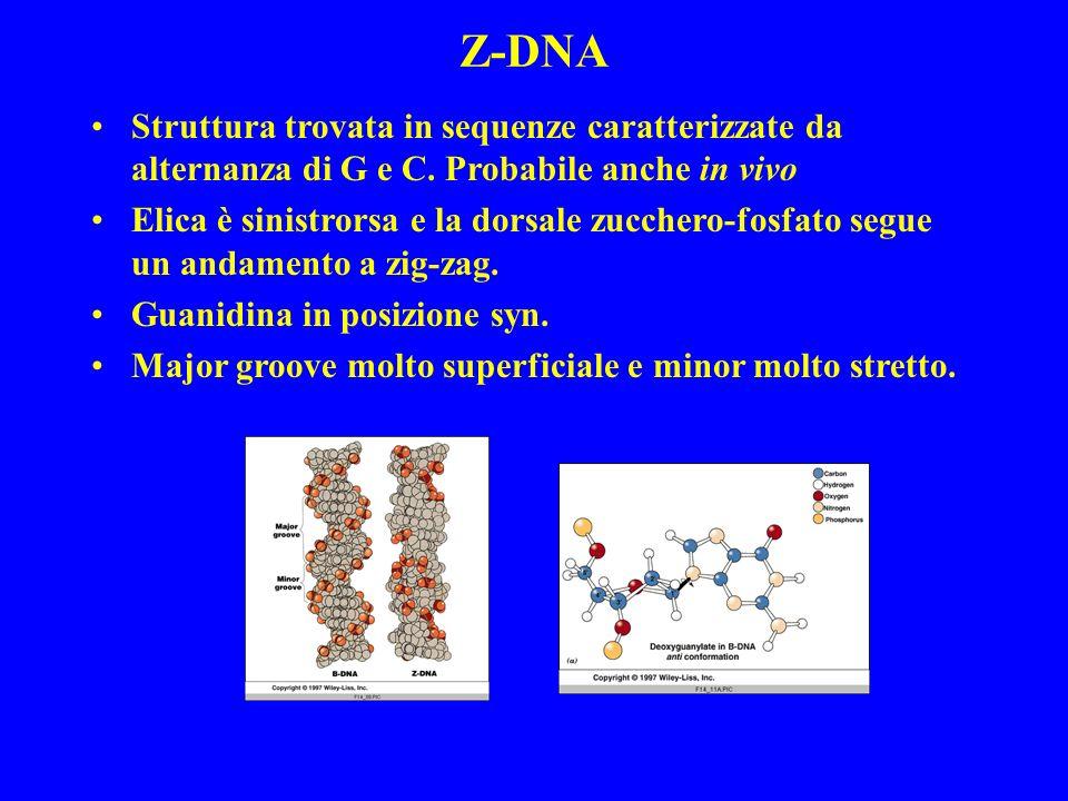 Struttura trovata in sequenze caratterizzate da alternanza di G e C. Probabile anche in vivo Elica è sinistrorsa e la dorsale zucchero-fosfato segue u