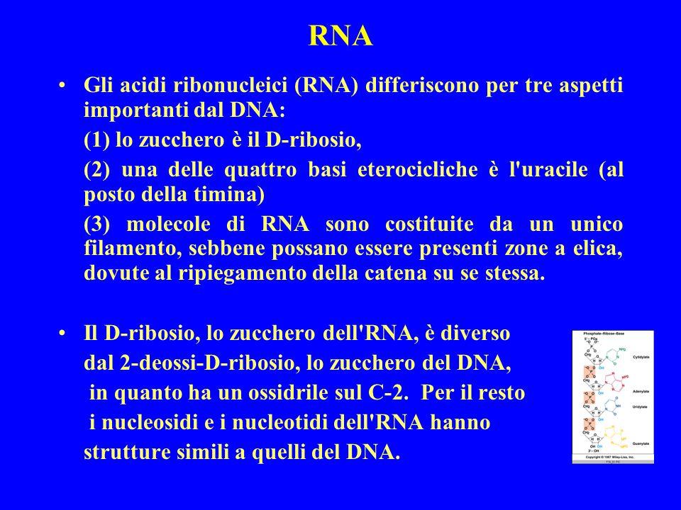 RNA Gli acidi ribonucleici (RNA) differiscono per tre aspetti importanti dal DNA: (1) lo zucchero è il D-ribosio, (2) una delle quattro basi eterocicliche è l uracile (al posto della timina) (3) molecole di RNA sono costituite da un unico filamento, sebbene possano essere presenti zone a elica, dovute al ripiegamento della catena su se stessa.