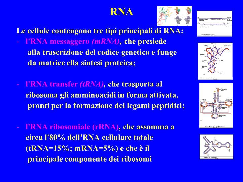 RNA Le cellule contengono tre tipi principali di RNA: -l RNA messaggero (mRNA), che presiede alla trascrizione del codice genetico e funge da matrice ella sintesi proteica; -l RNA transfer (tRNA), che trasporta al ribosoma gli amminoacidi in forma attivata, pronti per la formazione dei legami peptidici; -l RNA ribosomiale (rRNA), che assomma a circa l 80% dell RNA cellulare totale (tRNA=15%; mRNA=5%) e che è il principale componente dei ribosomi