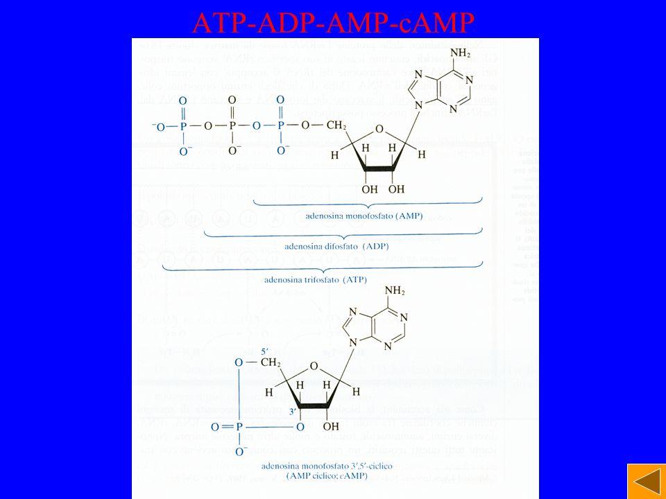 ATP-ADP-AMP-cAMP