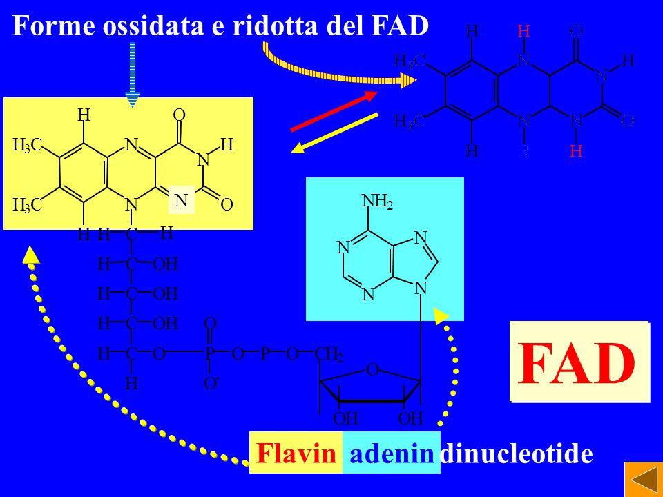 N N N O O H 3 C H 3 C H HC C C C CHO H HOH HOH HOH H PO O O - POCH 2 H N N NH 2 N N O OHOH N Forme ossidata e ridotta del FAD Flavinadenindinucleotide H FAD