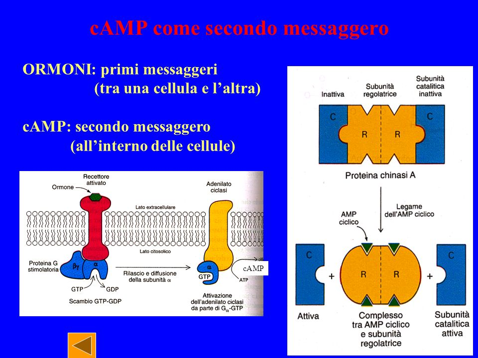 cAMP come secondo messaggero cAMP ORMONI: primi messaggeri (tra una cellula e laltra) cAMP: secondo messaggero (allinterno delle cellule)