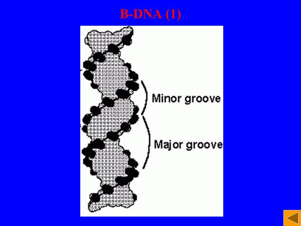 B-DNA (1)