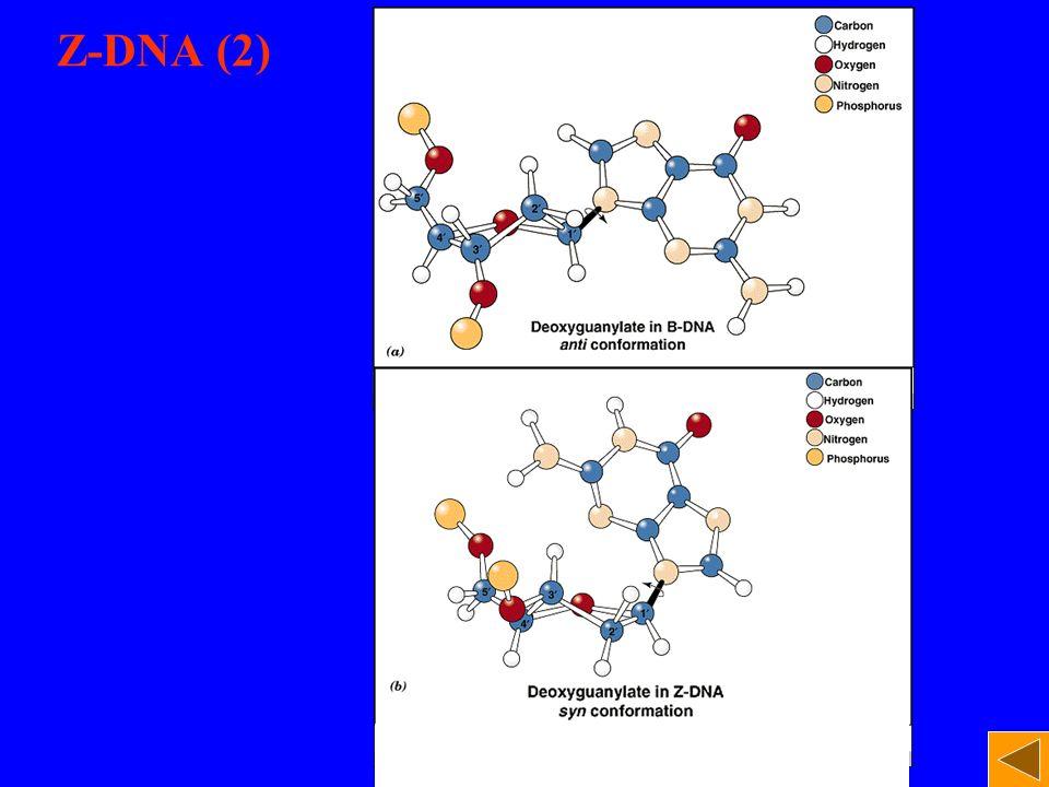 Z-DNA (2)