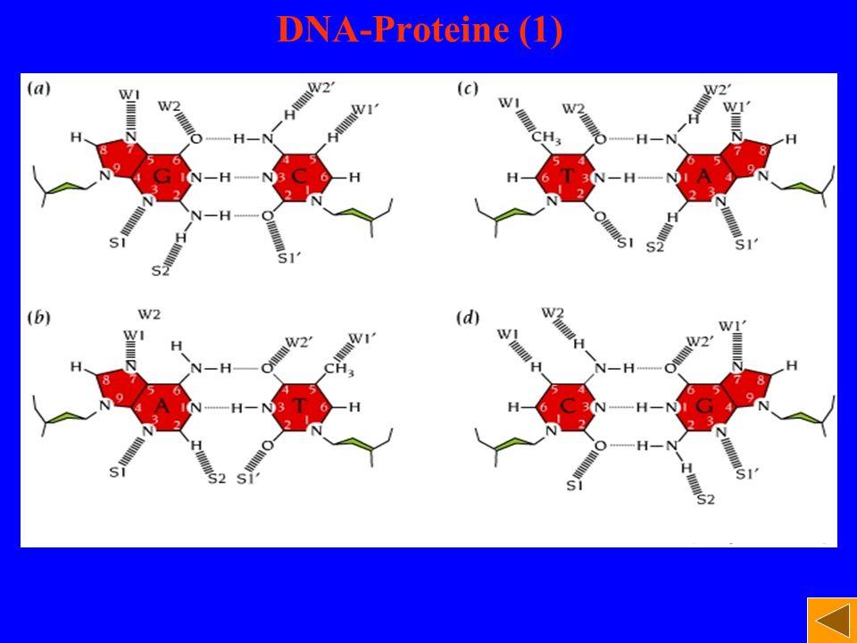 DNA-Proteine (1)