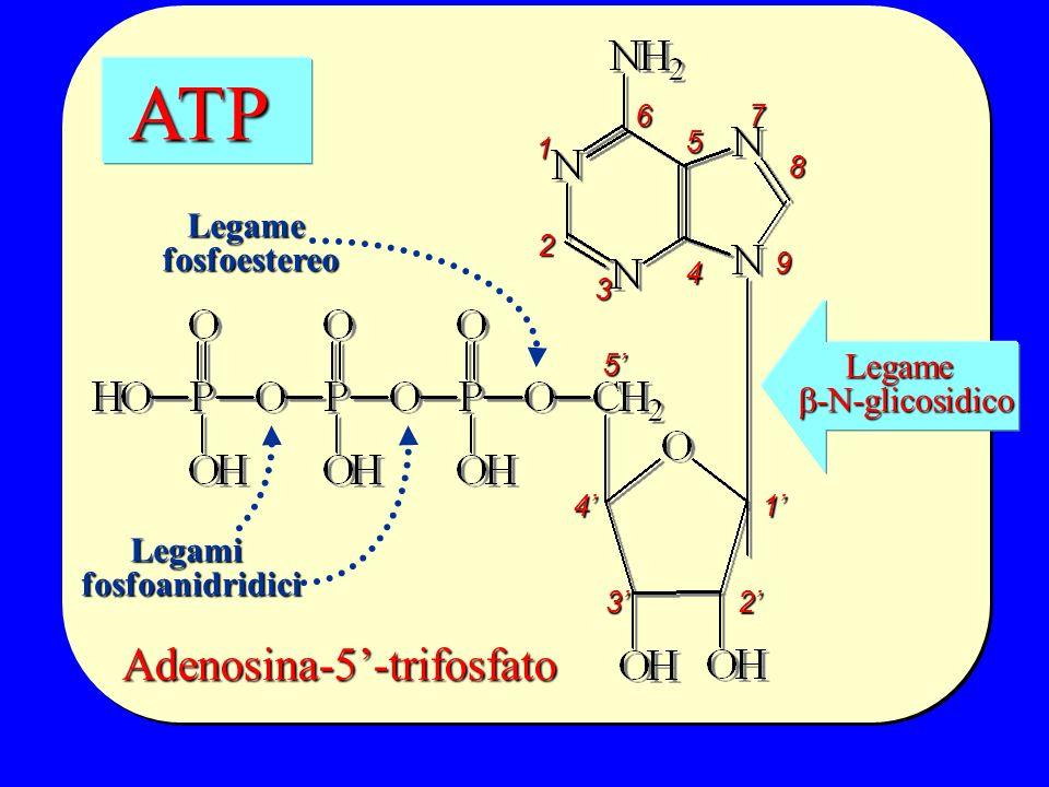Adenosina-5-trifosfato ATP ATP 5 4 32 1 1 2 3 4 5 67 8 9 Legamifosfoanidridici Legamefosfoestereo Legame -N-glicosidico -N-glicosidico