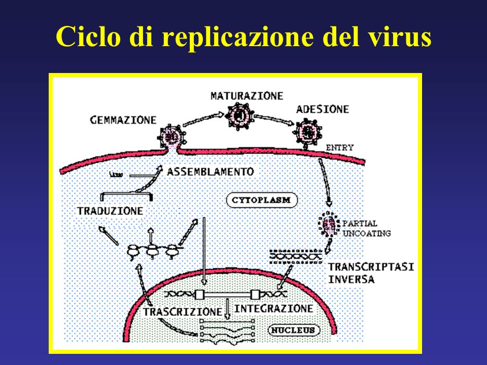 Ciclo di replicazione del virus