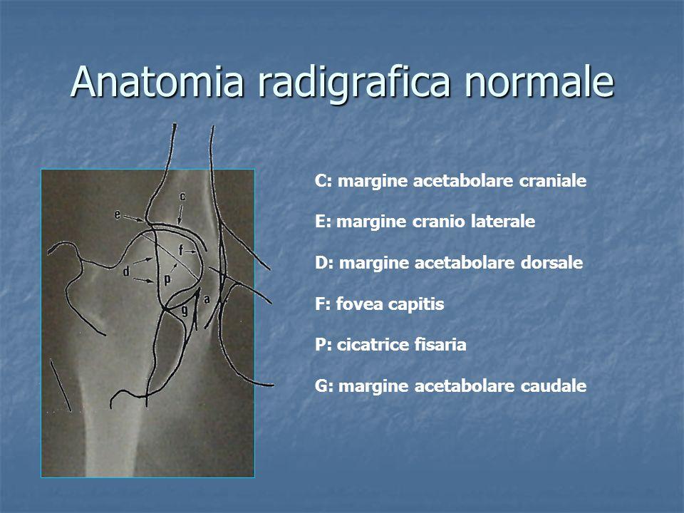 Anatomia radigrafica normale C: margine acetabolare craniale E: margine cranio laterale D: margine acetabolare dorsale F: fovea capitis P: cicatrice f