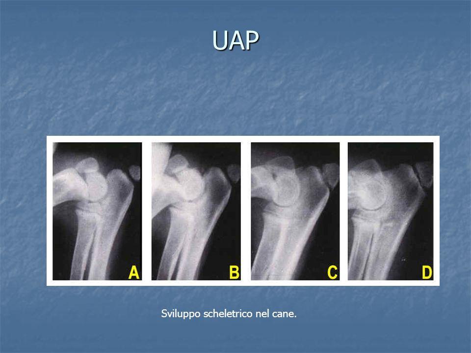 UAP Sviluppo scheletrico nel cane.