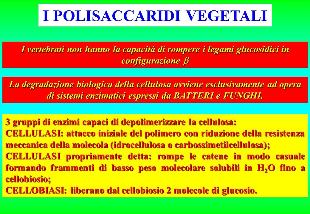 I POLISACCARIDI VEGETALI I vertebrati non hanno la capacità di rompere i legami glucosidici in configurazione I vertebrati non hanno la capacità di ro