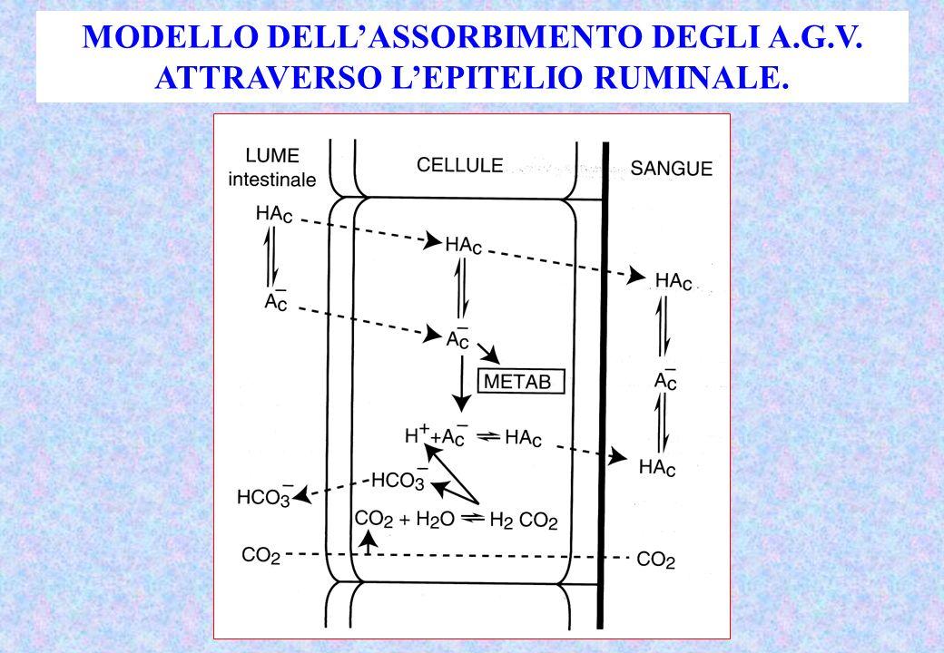 MODELLO DELLASSORBIMENTO DEGLI A.G.V. ATTRAVERSO LEPITELIO RUMINALE.