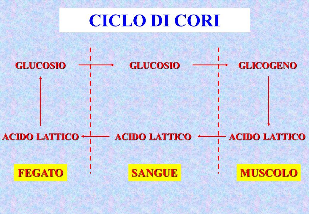 GLUCOSIO ACIDO LATTICO GLUCOSIO GLICOGENO FEGATOSANGUEMUSCOLO CICLO DI CORI