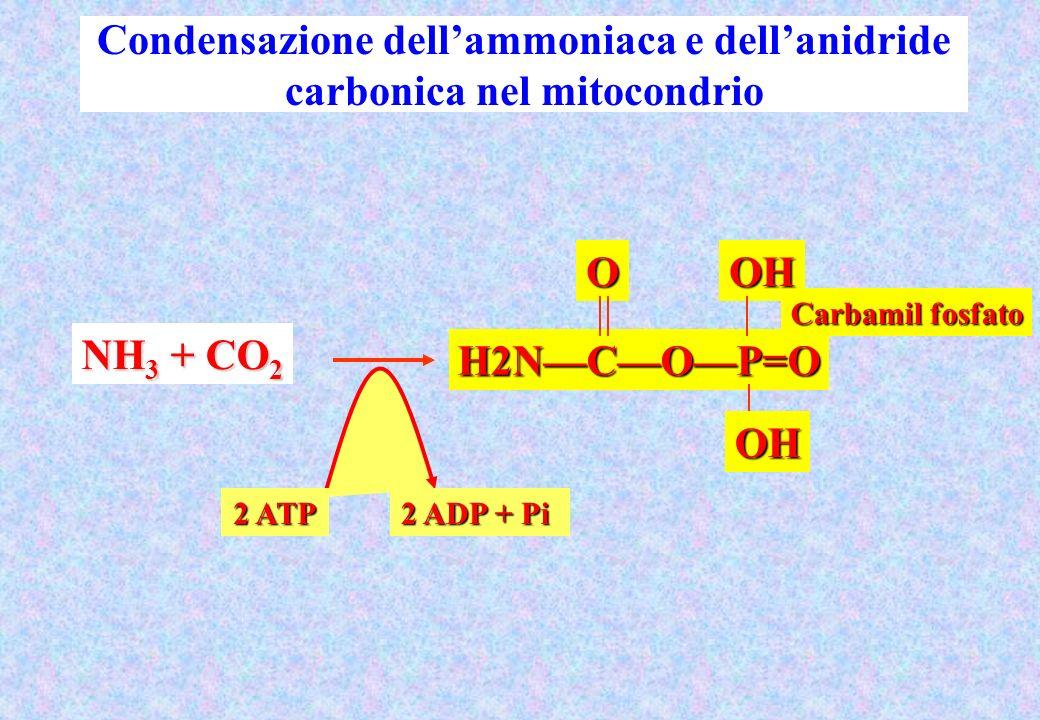 Condensazione dellammoniaca e dellanidride carbonica nel mitocondrio Carbamil fosfato H2NCOP=O OOHOH NH 3 + CO 2 2 ATP 2 ADP + Pi