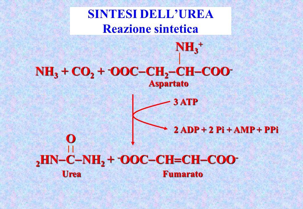 2 HN C NH 2 + - OOC CH CH COO - O UreaFumarato Aspartato NH 3 + CO 2 + - OOC CH 2 CH COO - NH 3 + 3 ATP 2 ADP + 2 Pi + AMP + PPi SINTESI DELLUREA Reaz