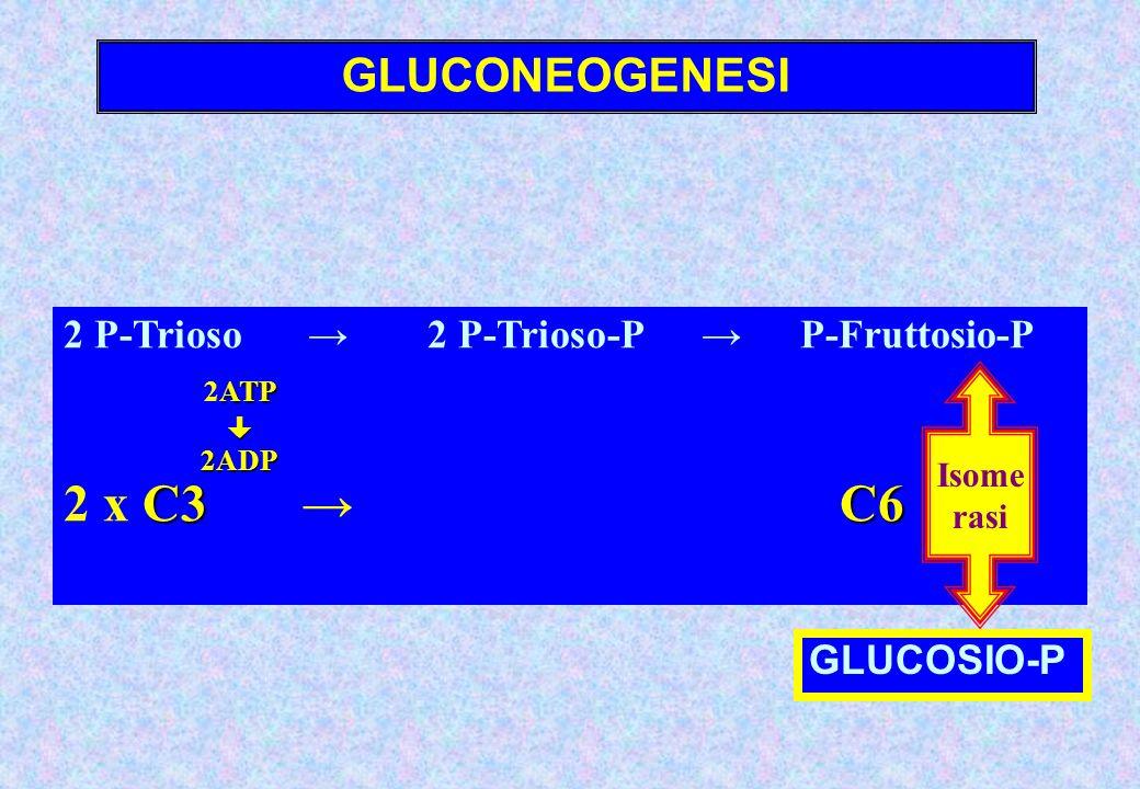 GLUCONEOGENESI 2 P-Trioso 2 P-Trioso-P P-Fruttosio-P ATP 2ATP2ADP C3 C6 2 x C3 C6 Isome rasi GLUCOSIO-P