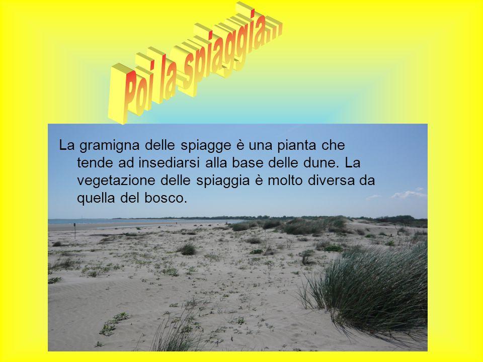 La gramigna delle spiagge è una pianta che tende ad insediarsi alla base delle dune. La vegetazione delle spiaggia è molto diversa da quella del bosco